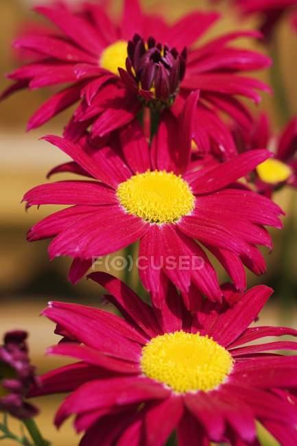 Closeup de exibição de flores gerbera vermelha — Fotografia de Stock