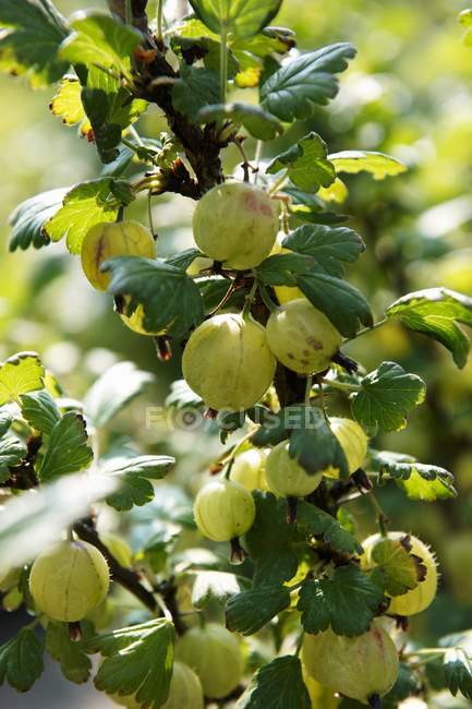 Fresh gooseberries with green leaves — Stock Photo