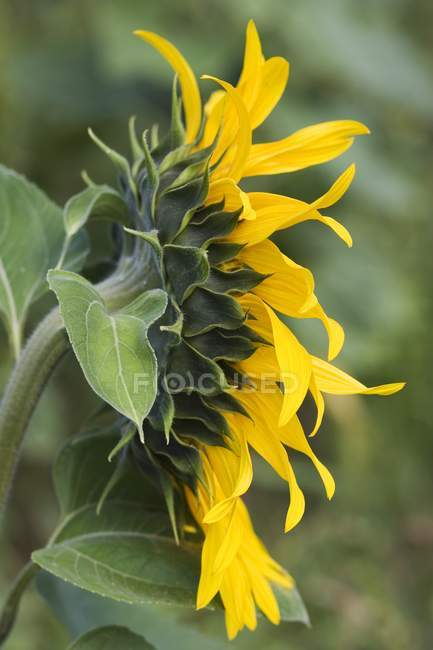 Closeup side view of a colorful sunflower — Stock Photo