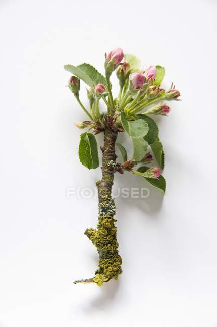 Closeup view of branch with apple blossoms — Stock Photo