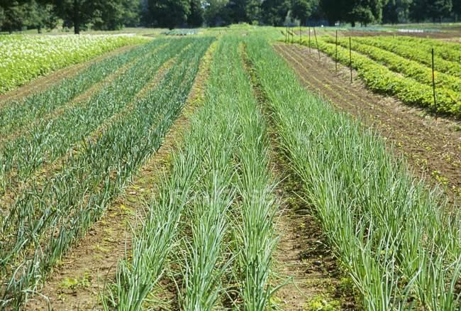 Oignon, lignes qui poussent sur une ferme à l'extérieur pendant la journée — Photo de stock
