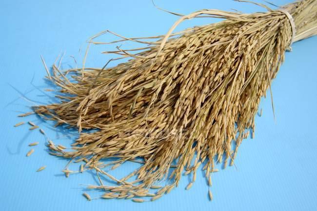 Plantas de orelhas de arroz — Fotografia de Stock