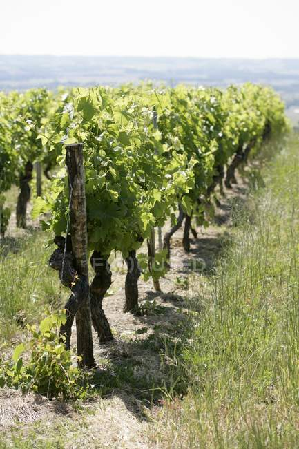Daytime view of vines rows on vineyard — Stock Photo