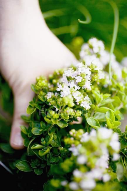 Hand holding flowering marjoram — Stock Photo