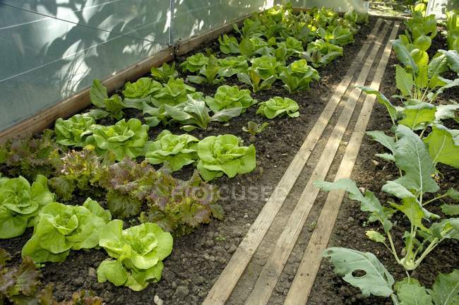 Lettuce plants and kohlrabi — Stock Photo