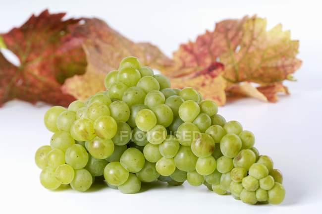 Bunch of Muskateller green grape — Stock Photo
