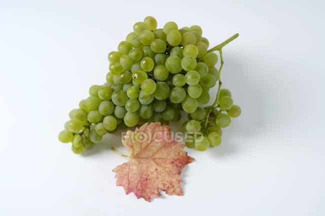 Bunch of Prcoce de Malingre green grape — Stock Photo