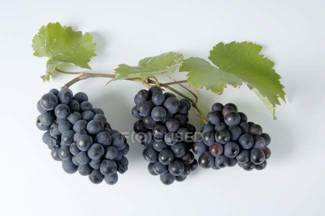 Bunches of Mllerrebe black grape — Stock Photo