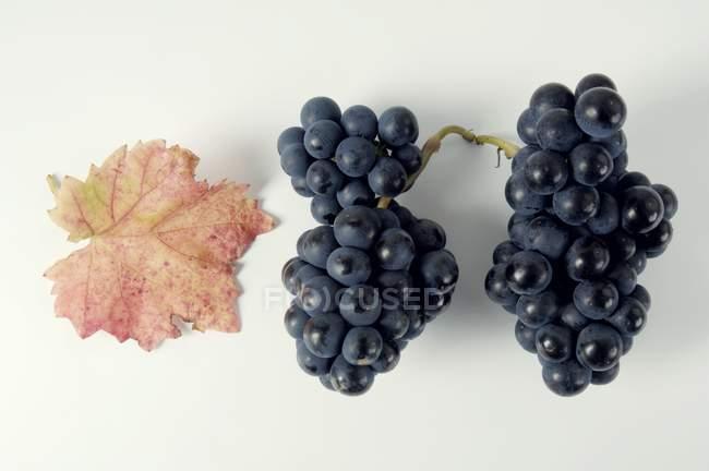 Bunches of Domina black grape — Stock Photo