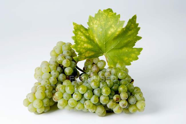 Bunches of Riesling green grape — Stock Photo