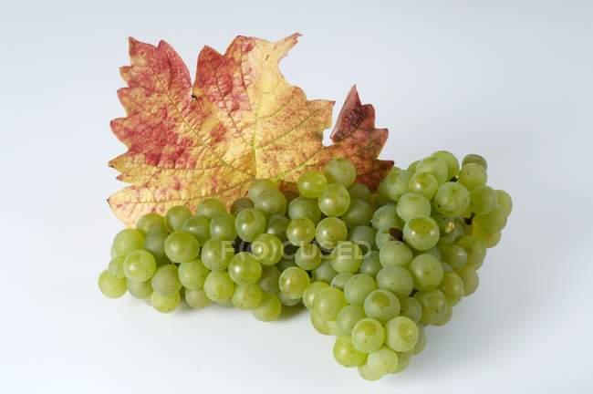 Bunch of green Weisser Elbling grape — Stock Photo