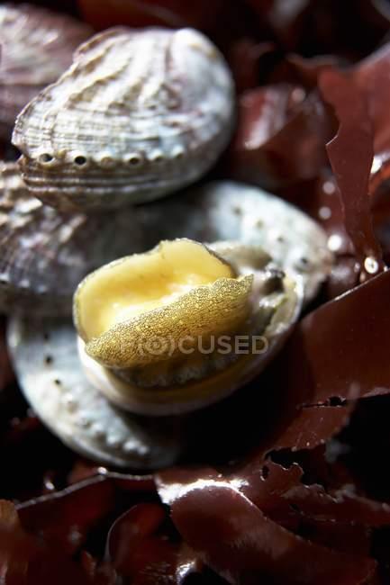 Detailansicht der Abalone Meeresschnecken mit Algen — Stockfoto