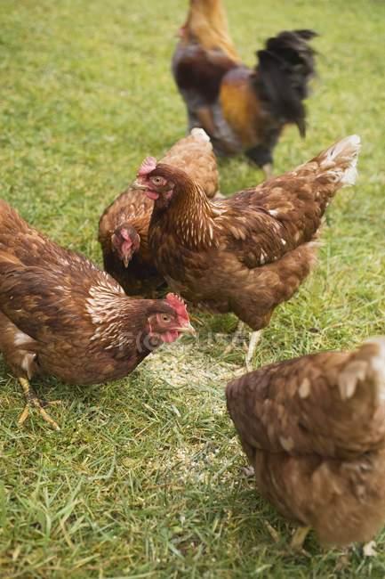 Vista di giorno di galline ruspanti su erba — Foto stock