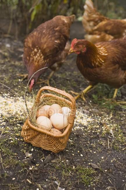 Uova nel cestino e galline — Foto stock