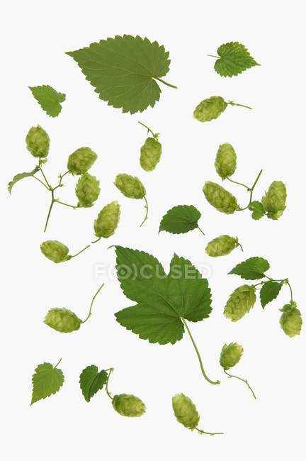 Hops leaves and hops shoots on white background — Stock Photo