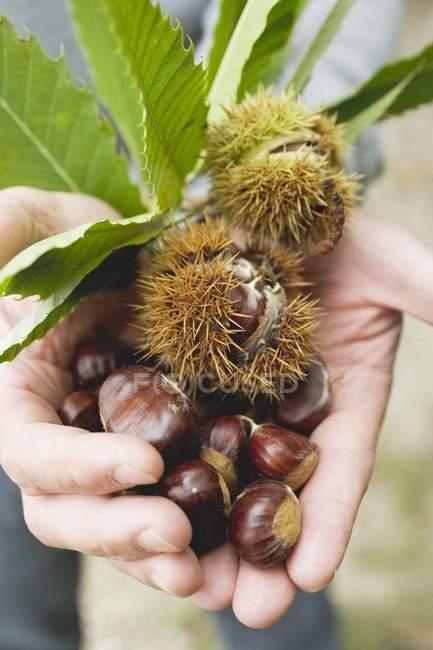 Marrons doux avec des feuilles — Photo de stock