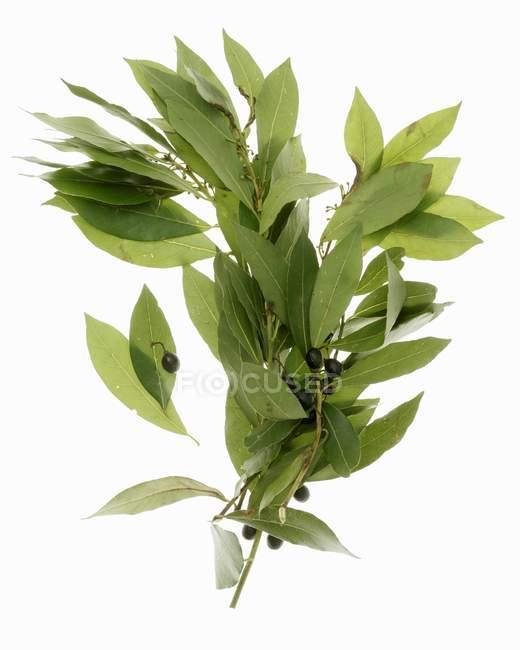 Свежие листья залива — стоковое фото