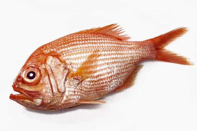 Fresh whole Alfonsino fish — Stock Photo