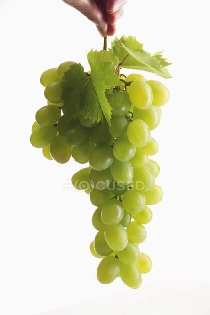 Bund grüner Trauben mit Blättern — Stockfoto