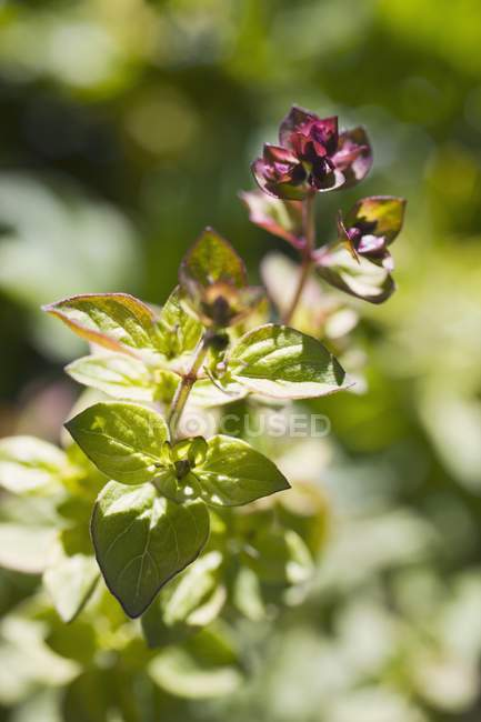 Wild marjoram growing in garden — Stock Photo