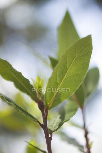 Fresh Bay Leaves — Stock Photo