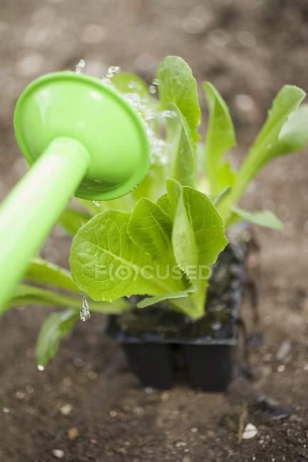 Полив растений салата — стоковое фото