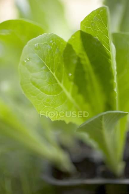 신선한 양상추 식물 — стокове фото