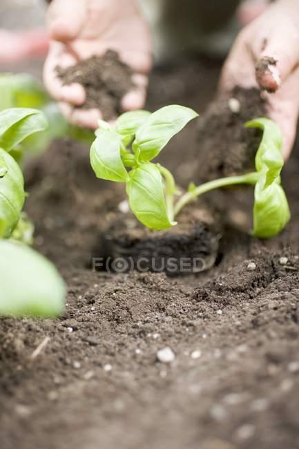 Planting basil in soil — Stock Photo
