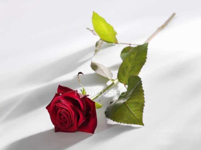 Nahaufnahme einer roten Rose auf weißer Oberfläche — Stockfoto