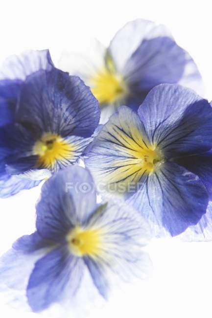 Closeup top view of purple and yellow pansies — Stock Photo