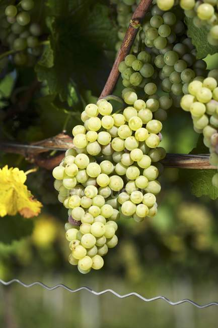 Weissburgunder grapes on the vine — Stock Photo