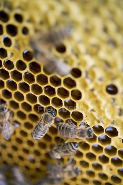 Rayon de miel avec des abeilles assises — Photo de stock