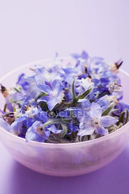 Огуречник аптечный цветы в розовой чаши на фиолетовом фоне — стоковое фото