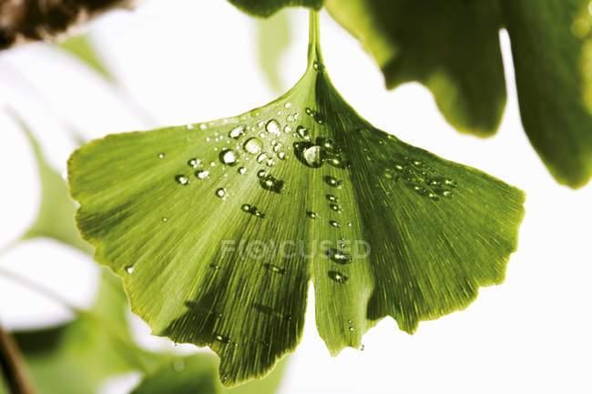 Detailansicht des Ginkgo-Blatt mit Wassertropfen — Stockfoto