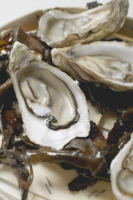 Frische Austern, eröffnete auf Algen — Stockfoto