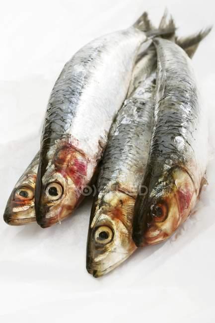 Four fresh sardines — Stock Photo