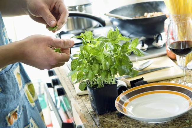 Closeup view of hands picking basil leaves from potted plant — Stock Photo