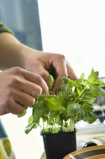 Mani umane raccogliendo foglie di basilico — Foto stock