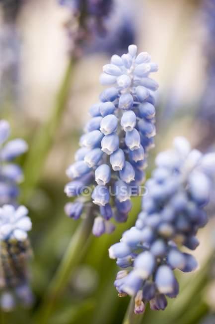 Closeup vista azuis hyacinths de uva — Fotografia de Stock