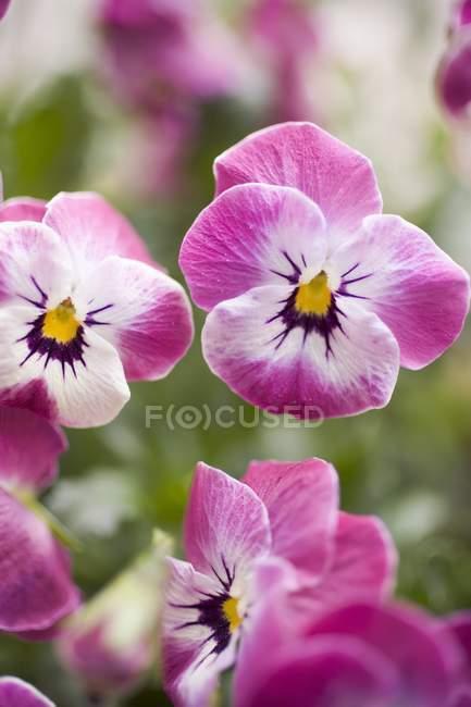 Крупным планом дневной вид розовые анютины глазки — стоковое фото