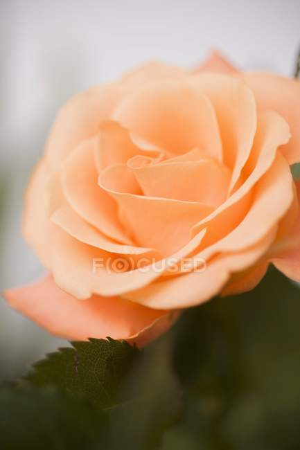 Closeup view of orange rose with leaves — Stock Photo