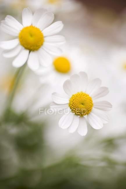 Крупним планом денного зору білий Marguerites — стокове фото