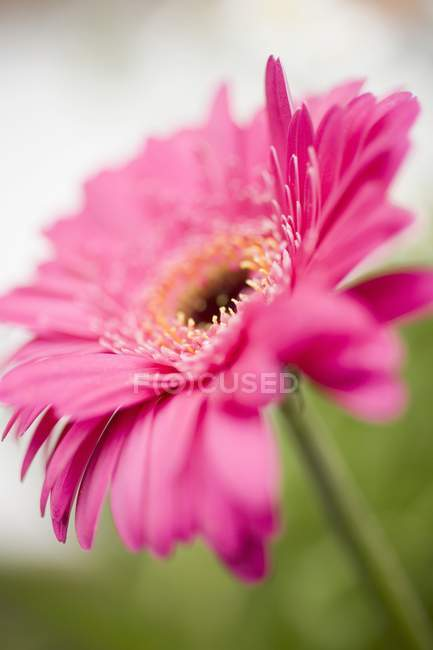 Closeup view of pink gerbera flower — Stock Photo