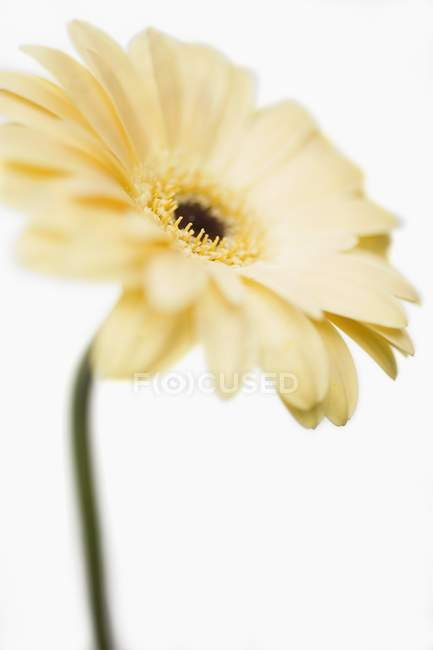 Close-up vista da flor de gerbera amarela no fundo branco — Fotografia de Stock