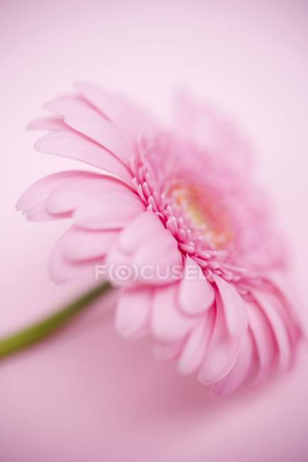 Closeup view of one gerbera flower on pink surface — Stock Photo