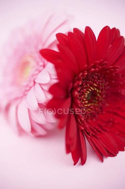 Крупним планом подання червоні та рожеві Гербери на рожевий поверхні — стокове фото