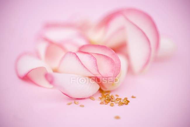Крупним планом подання з пелюстків троянд на рожевий поверхні — стокове фото