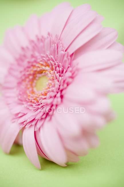 Крупним планом зору одного Гербера квітка на зеленій поверхні — стокове фото