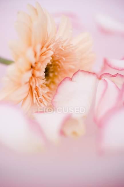 Nahaufnahme von Rosenblättern und Gerbera — Stockfoto