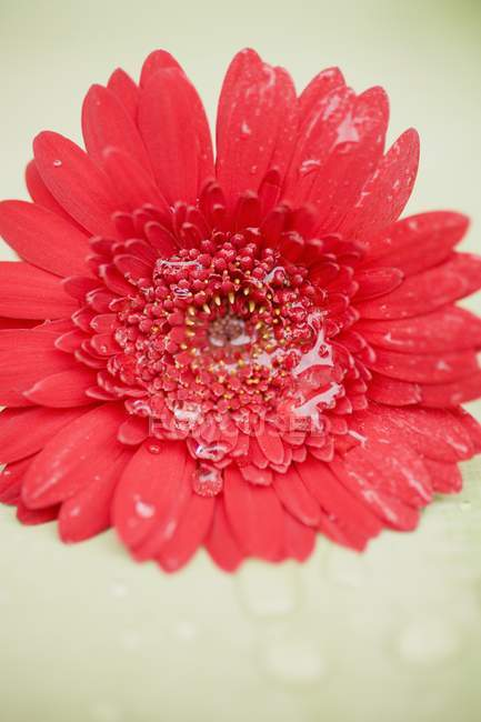 Closeup view of red gerbera flower with water drops — Stock Photo